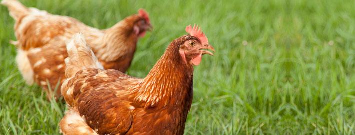 Raising Urban Backyard Chickens : Traditional & Urban Farming  Raising Chickens  MackinVIA Community